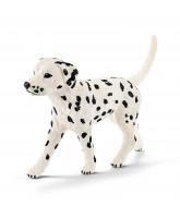 Dalmatian - male